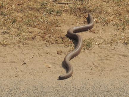 Chocolate Snake