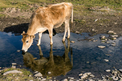 Picture of Cow Drinking in Phobjikha Bhutan by Mary Catherine Messner