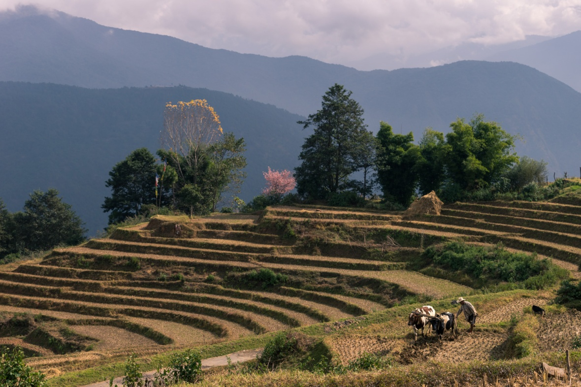 Picture of Terraced field in Bhutan by mcmessner Mary Catherine Messner