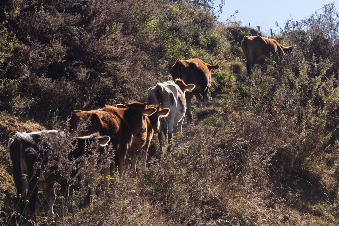 Pictures of Cows walking up ill in Thimpu Bhutan by mcmessner Mary Catherine Messner