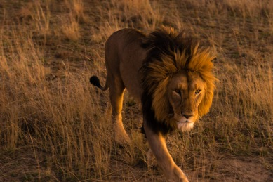 Pictures of Safari of a Lion on the 2016 Passport to Folk Art: South Africa & Zambia trip with BK Adventures, Nambiti Game Preserve in Kwazulu Natal, South Africa, Africa.
