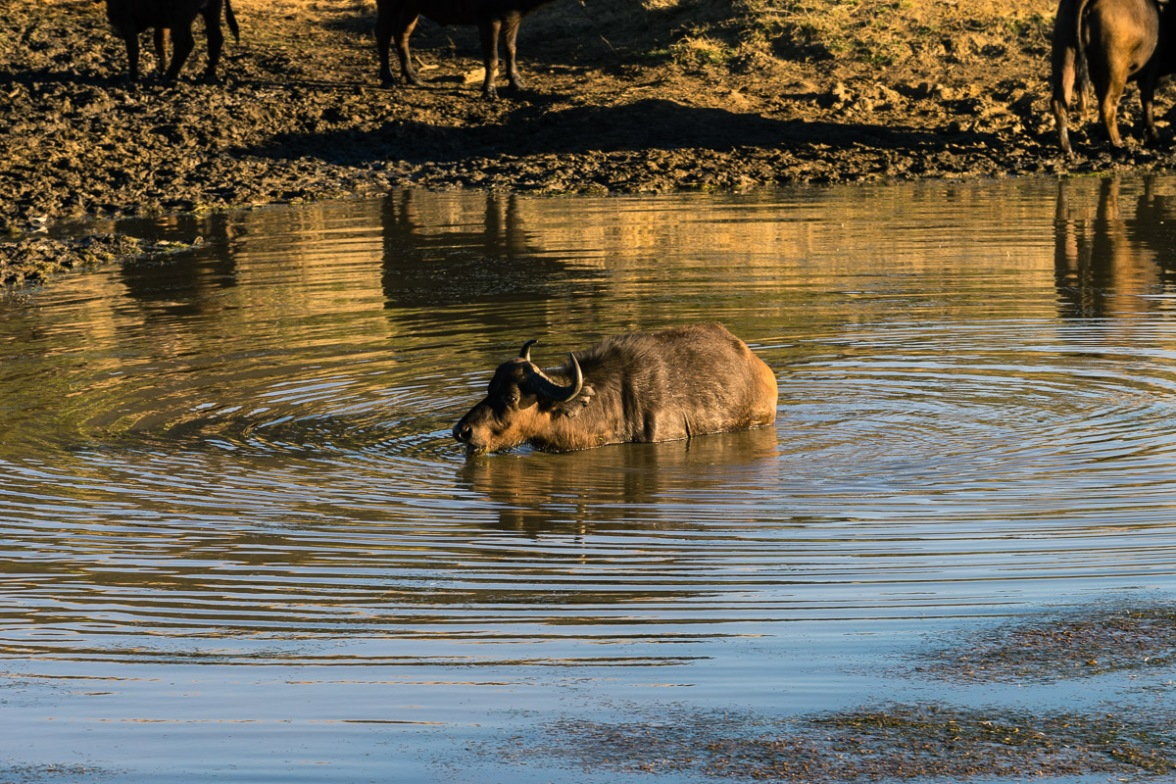 Pictures of Safari of a Water Buffalo on the 2016 Passport to Folk Art: South Africa & Zambia trip with BK Adventures, Nambiti Game Preserve in Kwazulu Natal, South Africa, Africa.