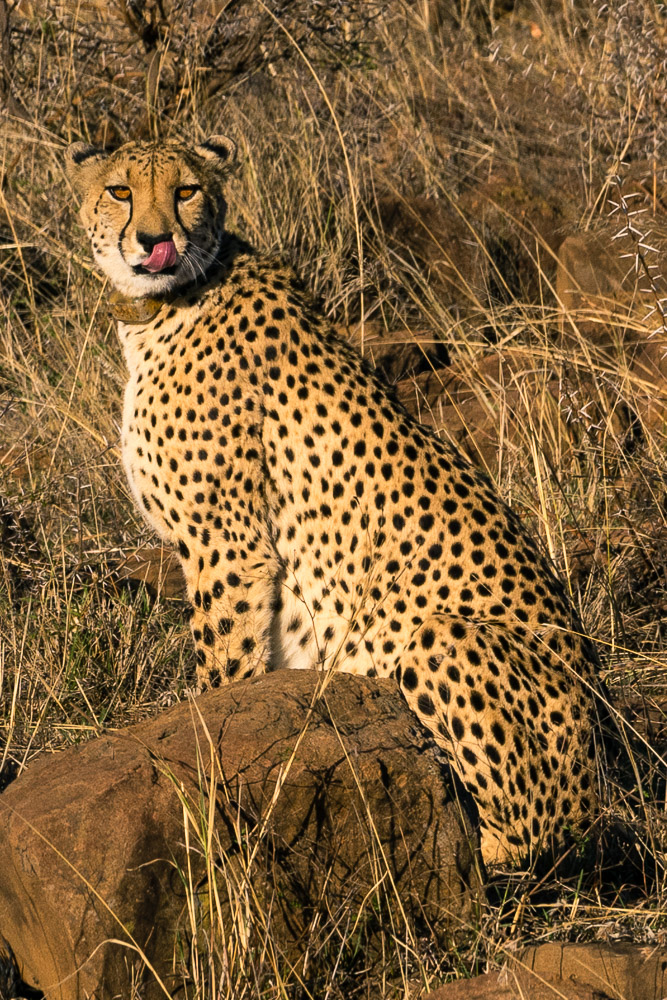 Pictures of Safari of a Cheetah on the 2016 Passport to Folk Art: South Africa & Zambia trip with BK Adventures, Nambiti Game Preserve in Kwazulu Natal, South Africa, Africa.