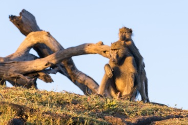 Picture of baboons in Zambezi River, Zambia, Africa while on the 2016 Passport to Folk Art: South Africa trip with BJ Adventures