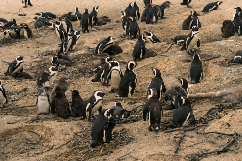 Picture of Penguins in South Africa, Africa while on the 2016 Passport to Folk Art: South Africa trip with BJ Adventures