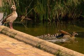 Picture of Egyptian Geese seen in Company's Garden in Cape Town,South Africa, Africa while on the 2016 Passport to Folk Art: South Africa trip with BJ Adventures