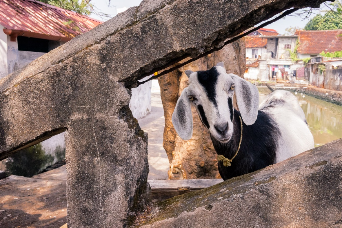 Pictures of Goat in Cochin, Kerala, India by mcmessner Mary Catherine Messner