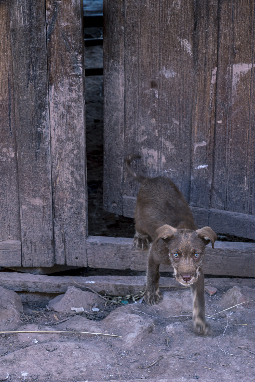 Travel and street photography of dogs and puppies made by mcmessner Mary Catherine Messner in Pisac, Peru