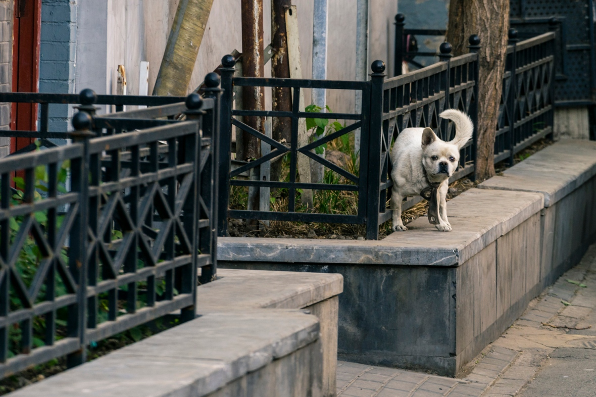 Travel and street photography of dogs and puppies made by mcmessner Mary Catherine Messner in Beijng, China.