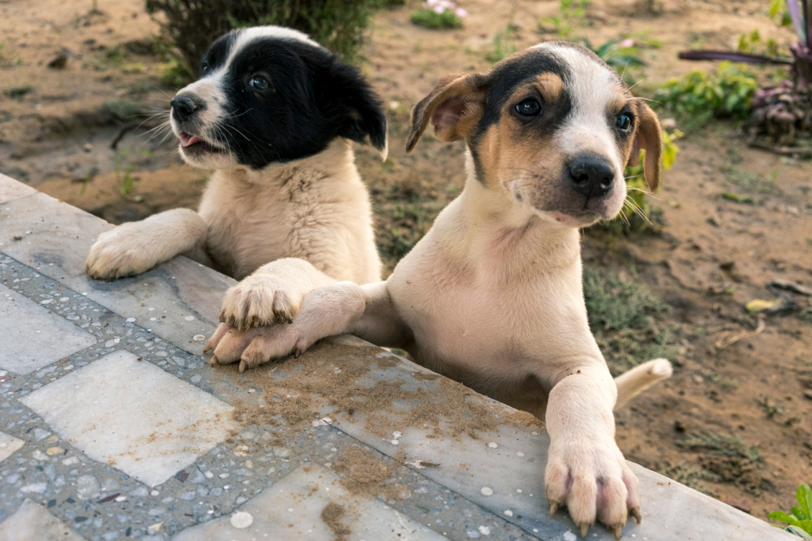 Travel and street photography of dogs and puppies made by mcmessner Mary Catherine Messner in Amritsar India.